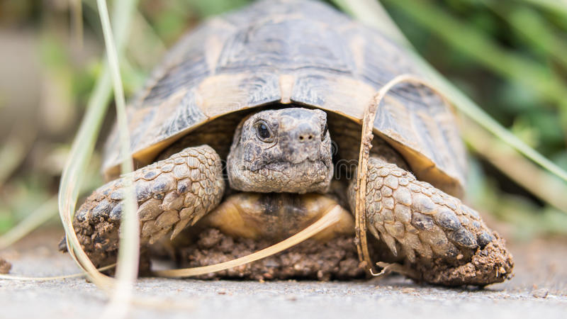 Turtle. S are reptiles of the order Testudines or Chelonii characterised by a special bony or cartilaginous shell developed from their ribs and acting as a stock images