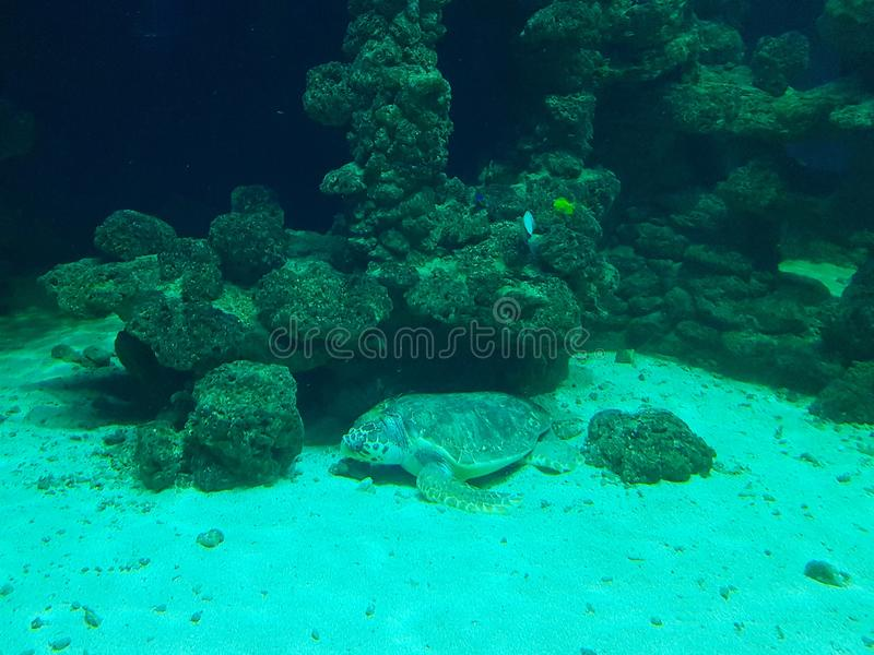 Turtle under the sea stock photography