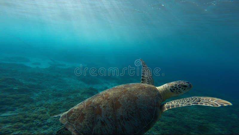 Turtle underwater royalty free stock photos