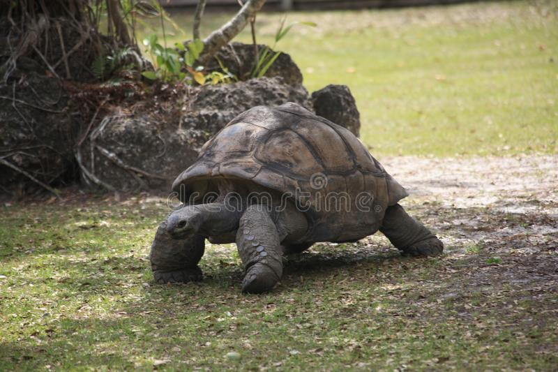A turtle is walking royalty free stock image
