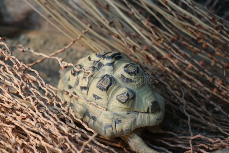 Turtle walking to his home royalty free stock images
