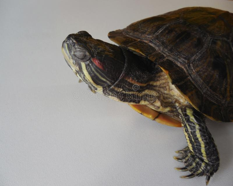 Turtle water on land. I closed my eyes side view. royalty free stock images