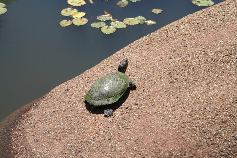 Turtle and water with lily pads stock image