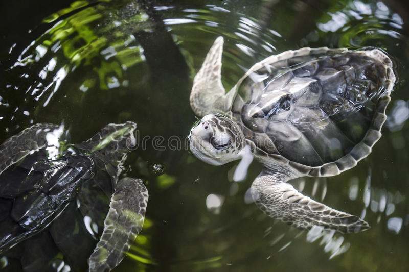 Turtle waterballet. Swimming turtles in greenish water royalty free stock photography