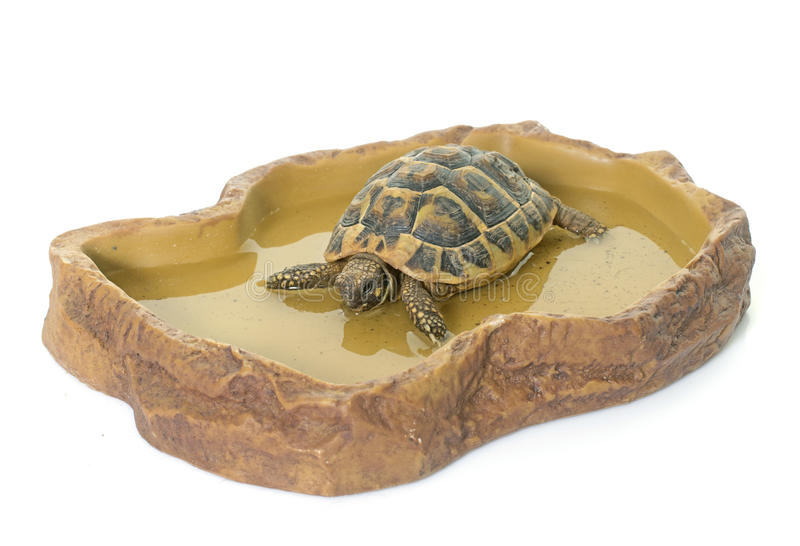 Turtle in watering hole royalty free stock photo