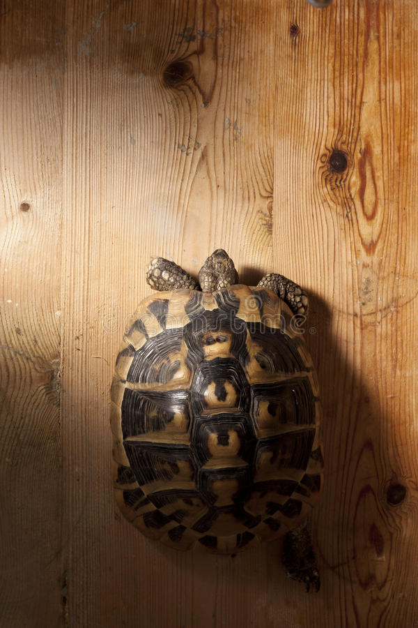 Download Turtle on Wood stock photo. Image of turtle, hermanni - 15200406