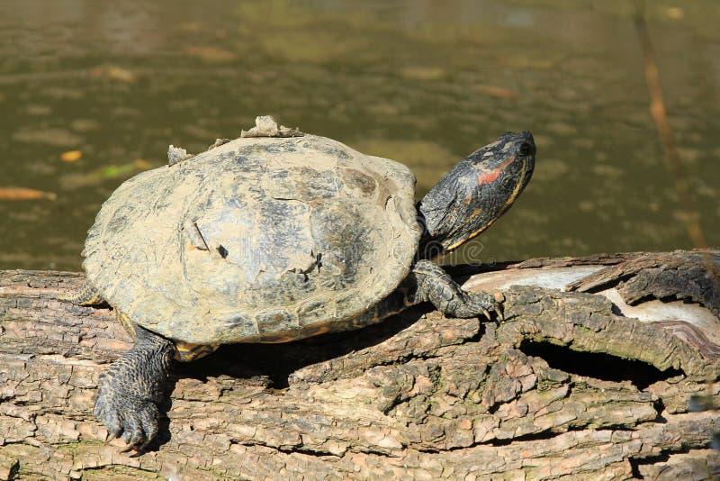 Download Turtle on the wood stock image. Image of tortoise, amphibian - 26846445