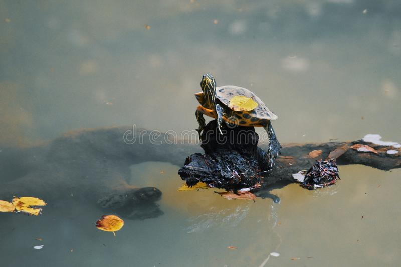 Turtle with a yellow fall leaf on the shell stock photo