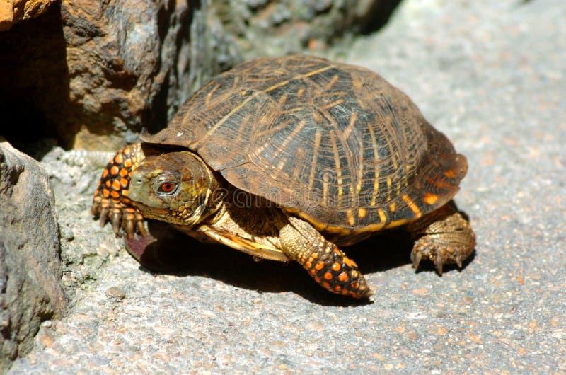Turtle1 photo stock