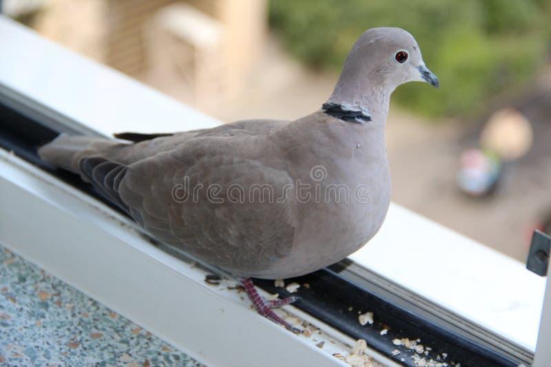 turtledove images stock