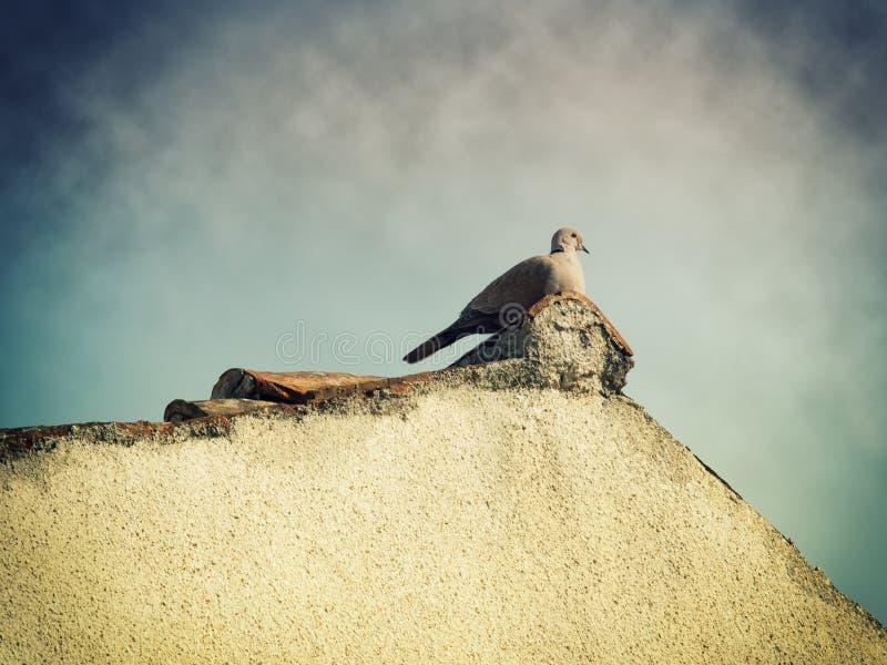 turtledove 免版税库存照片
