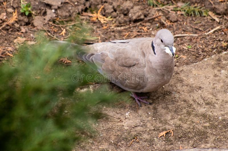 Turtledove on a ground stock photos