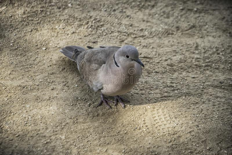 A Turtledove on the Ground stock images