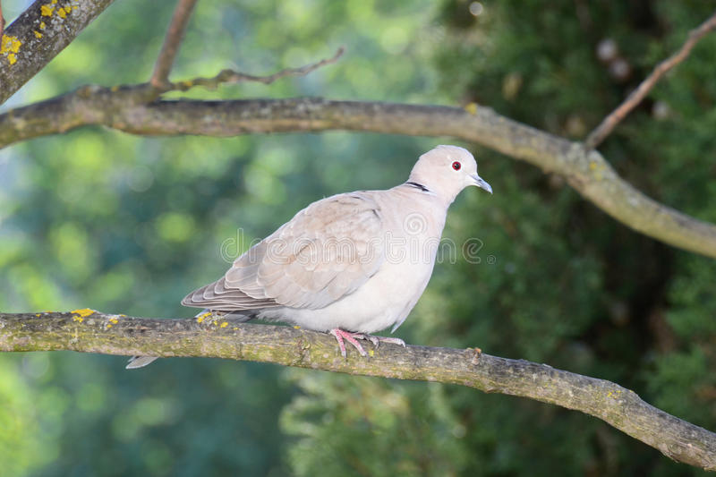 Download Turtledove Looks Surprised At The Photographer Stock Image - Image: 36991315