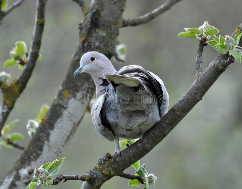 The turtledove sits on the branch of the spring apple-tree. The turtledove garden sits on the branch of the spring apple tree stock photography