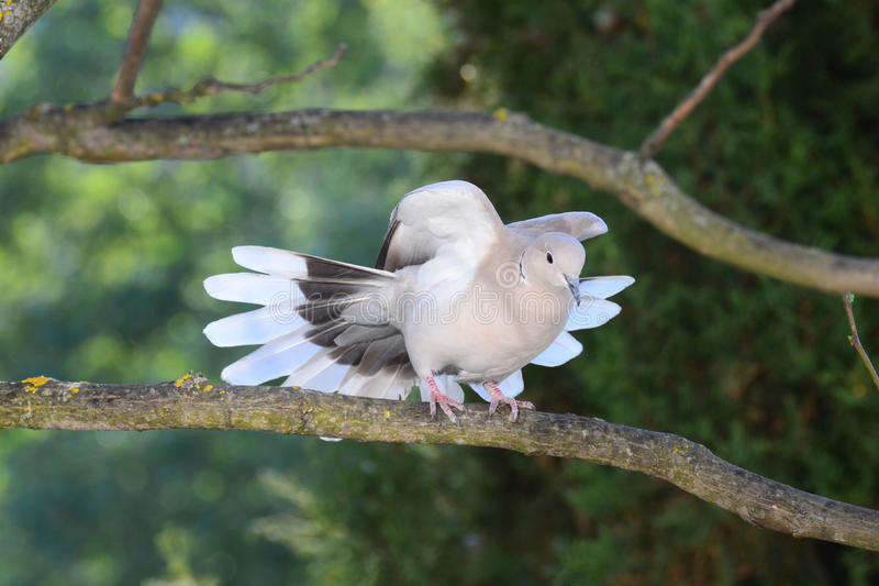 Download Turtledove Spreading Its Wings And Tail Stock Image - Image: 36991339