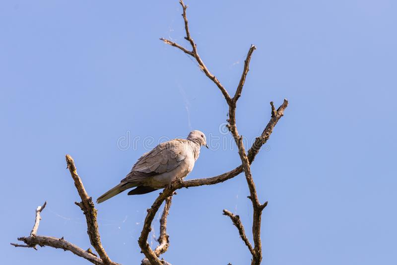 Turtledove or Streptopelia garden sits on the branch of the spring apple tree. Turtledove or Streptopelia garden sits on the branch of the spring apple tree stock photography