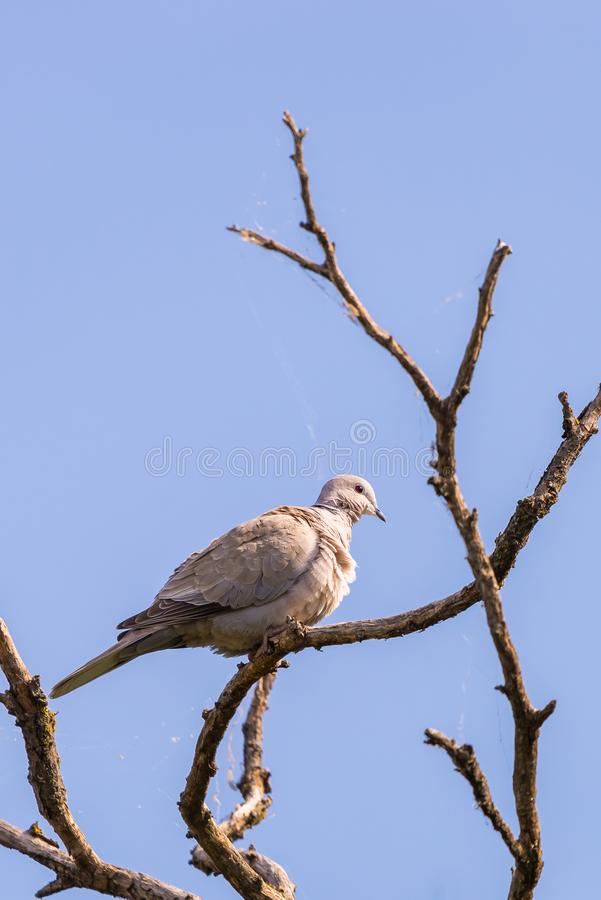 Turtledove or Streptopelia garden sits on the branch of the spring apple tree. Turtledove or Streptopelia garden sits on the branch of the spring apple tree stock image