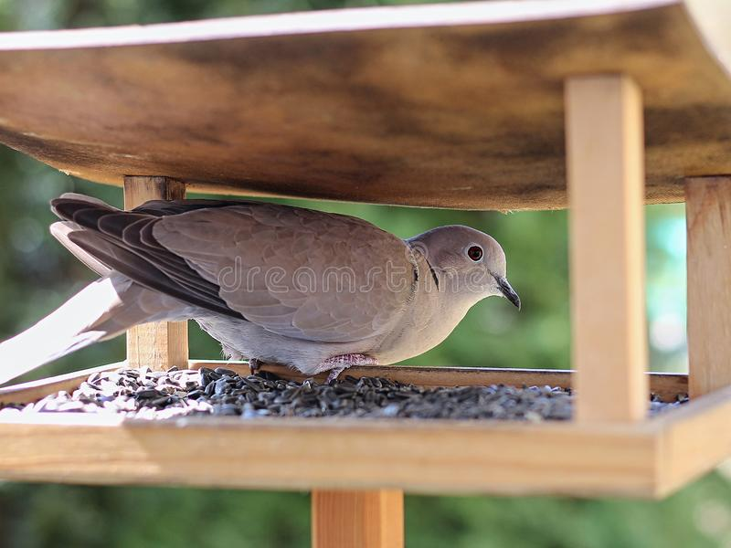 Turtledove royalty free stock photos