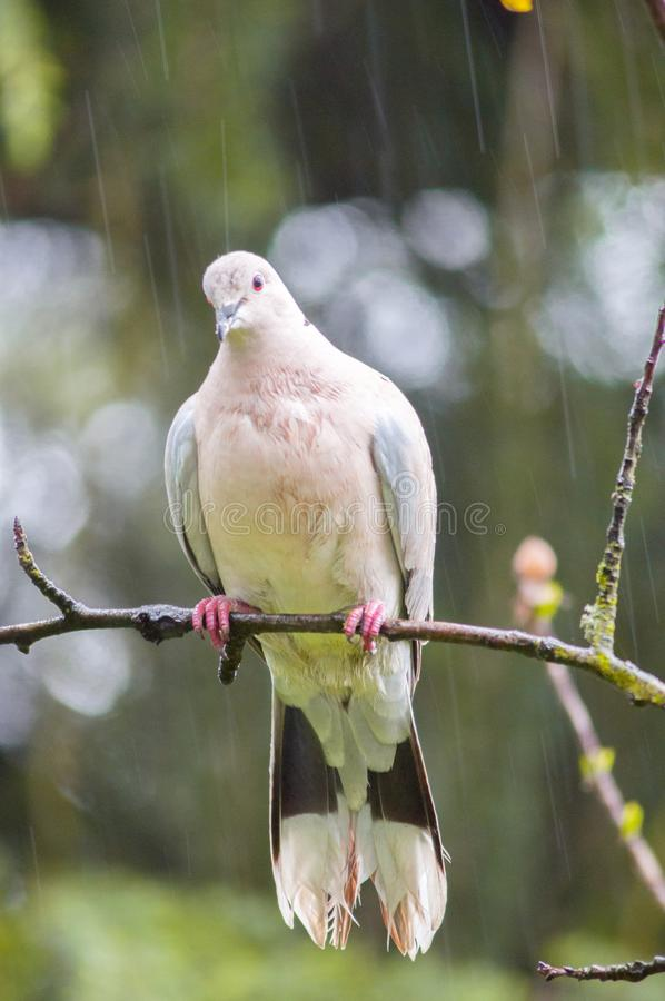 A turtledove under the rain stock images