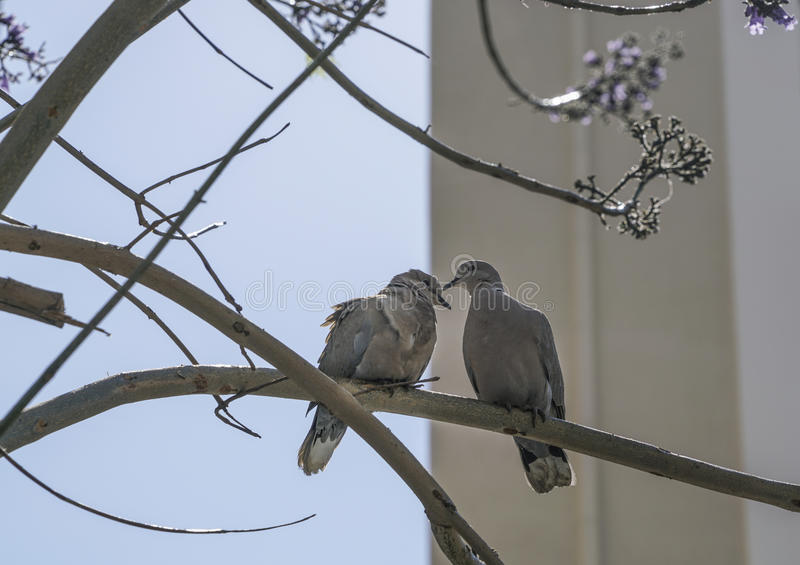 Turtledoves na gałąź drzewo zdjęcie stock