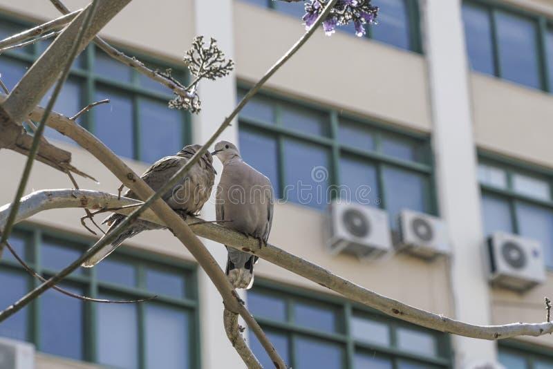 Turtledoves na gałąź drzewo przeciw windowds budynek obraz stock