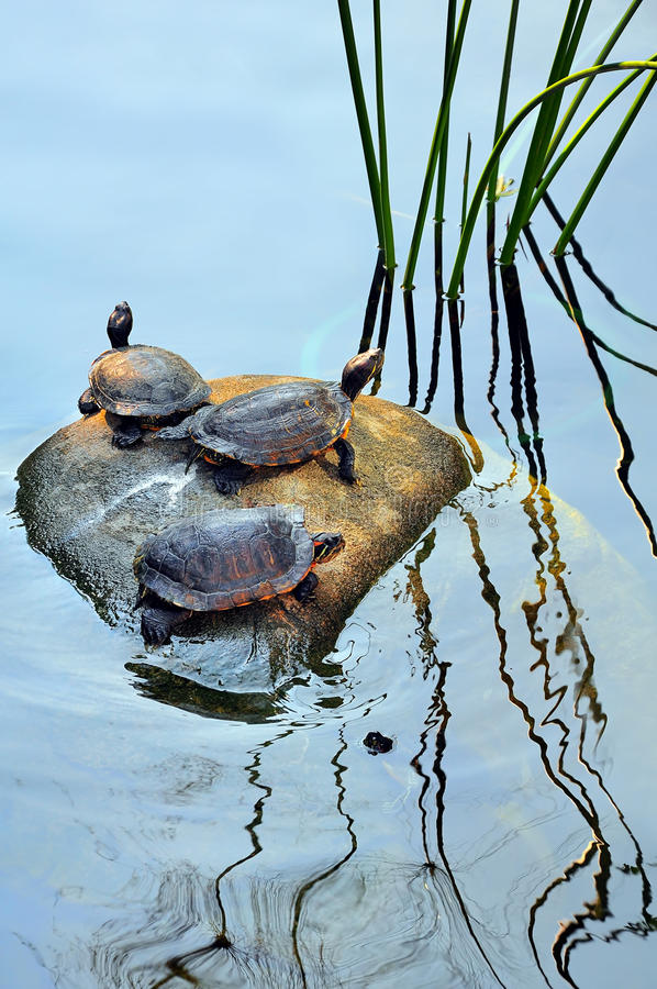 Download Turtles stock photo. Image of pond, rock, marine, wildlife - 27484946