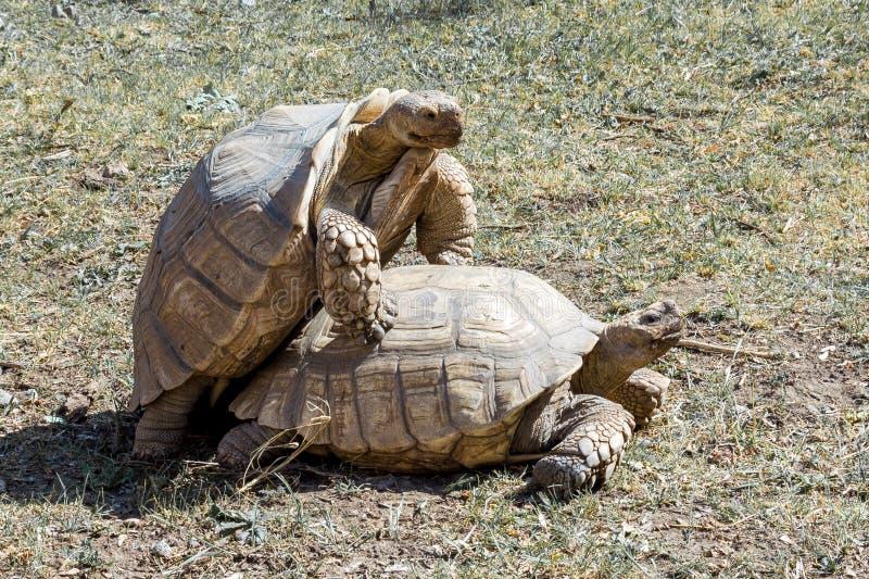 Turtles sex stock image
