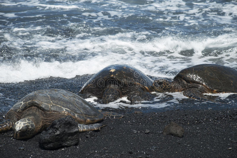 Download Turtles On Black Sand Beach Stock Photo - Image: 31672604
