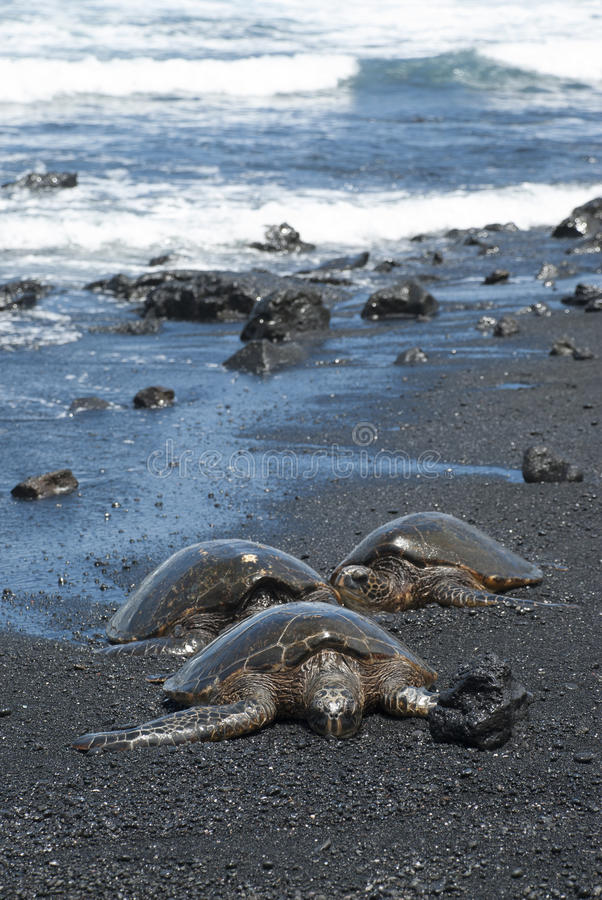 Turtles on black sand beach royalty free stock images