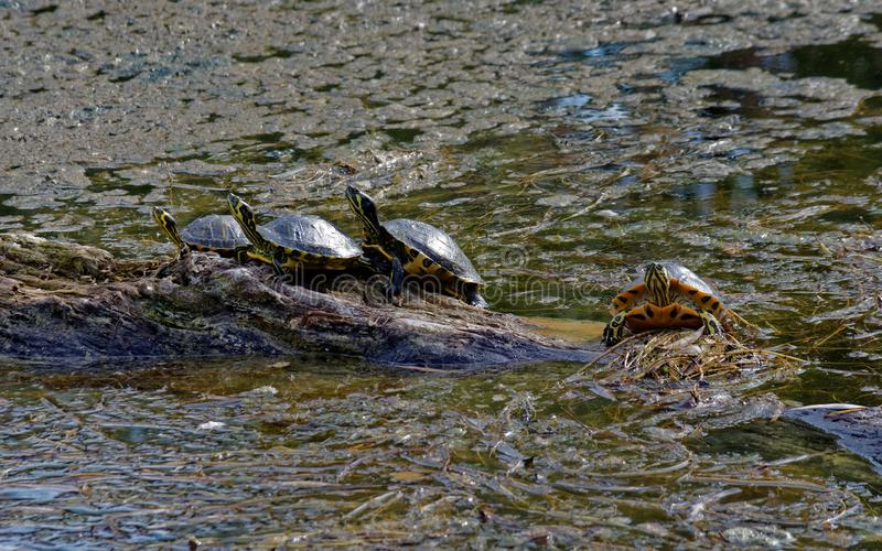 Turtles on Brown Rock Near Body of Water royalty free stock photography