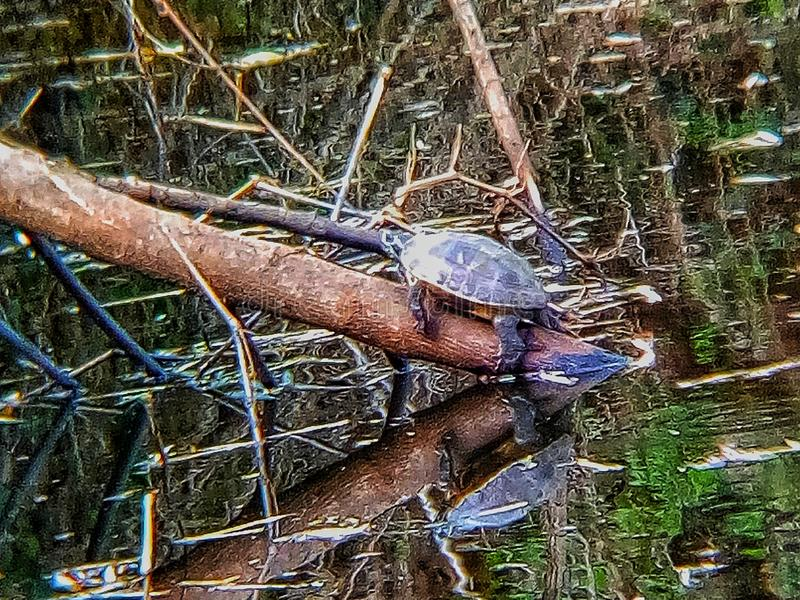 Turtles in the canals, turtles, lumberjack, sluggish, sluggish, animals, water, canals royalty free stock image