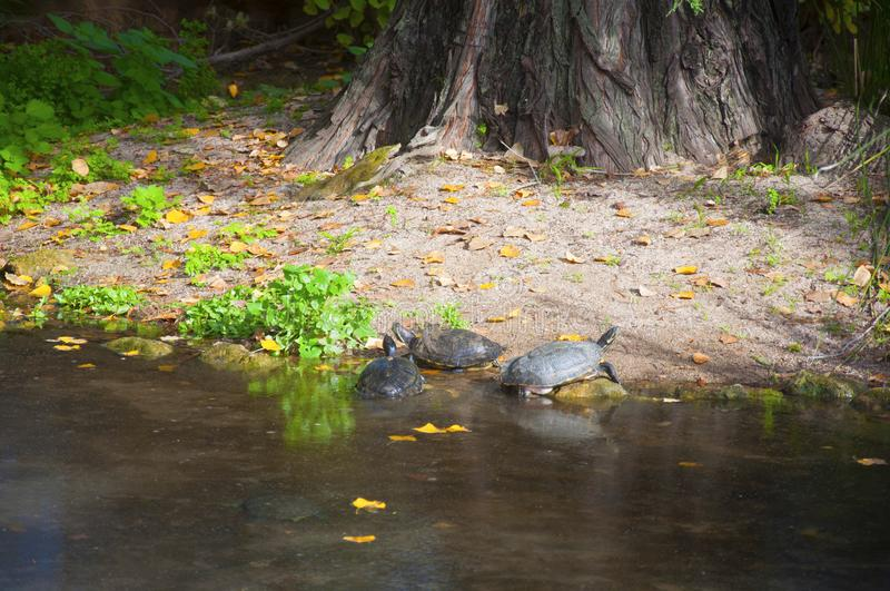 Turtles coming out from pond ashore, autumn. Turtles coming out from pond ashore with dark water, autumn royalty free stock photo
