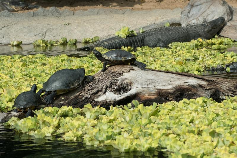 Turtles and crocodile / alligator stock photography