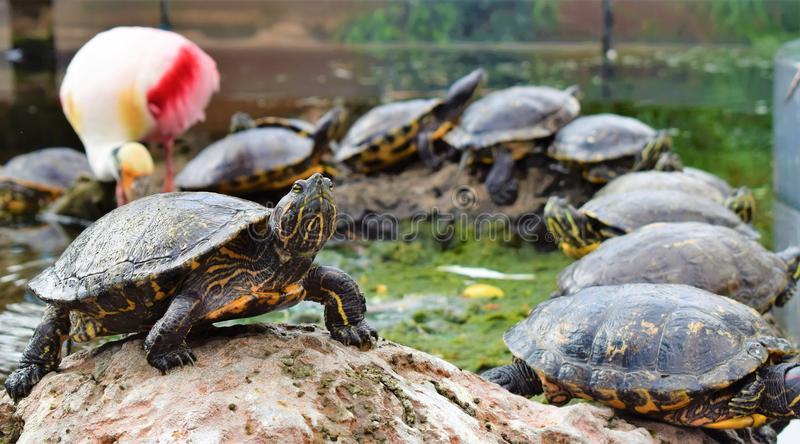 Turtle with a Flamingo in the back royalty free stock images
