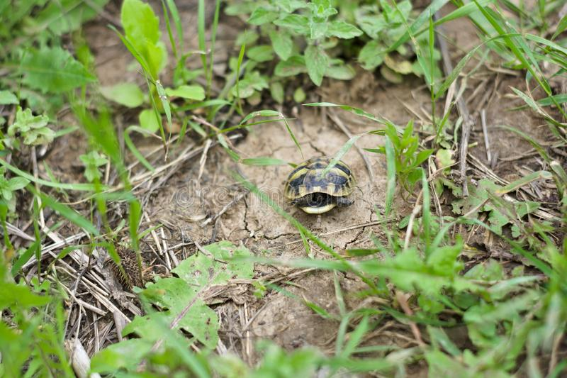 Scared baby turtle on the ground. Turtles are diapsids of the order Testudines or Chelonii characterized by a special bony or cartilaginous shell developed from stock image