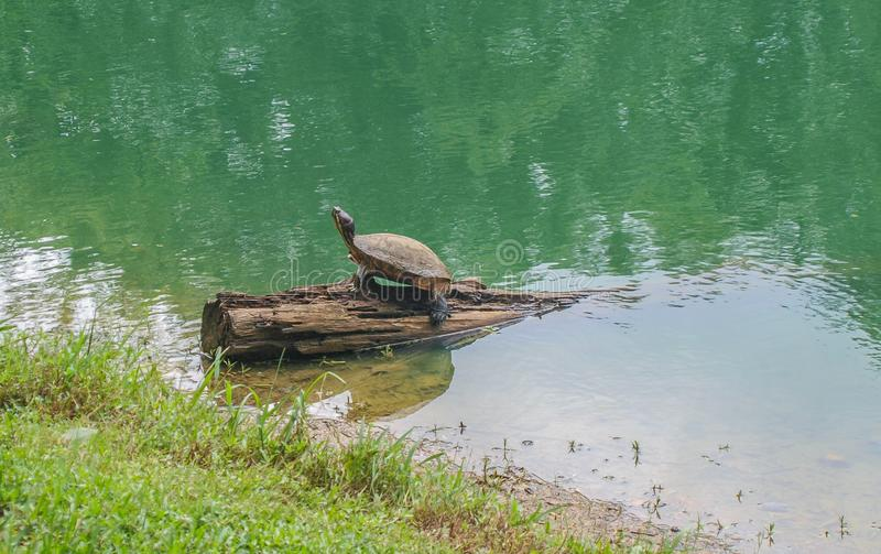 Red-Eared Slider Turtle Terrapin. Turtles are diapsids of the order Testudines or Chelonii characterized by a special bony or cartilaginous shell developed from stock photography