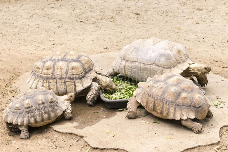 Turtles are eating. royalty free stock photography