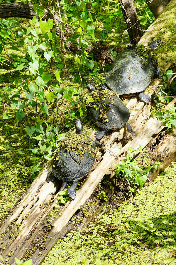 Turtles are hiding in a pond stock image