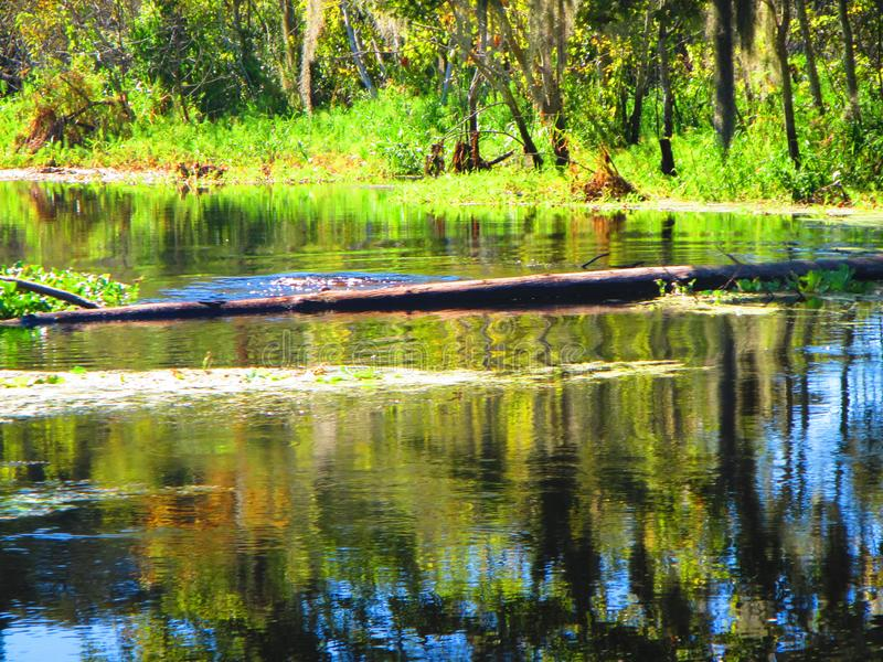 Turtles jump off a log into the water, along the bank of a florida river. Turtles jump off of a long in to the water, along the bank the withlachoochee river royalty free stock photo