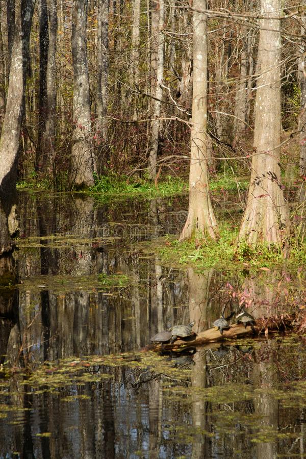 Turtles on a log in a cypress swamp stock photo