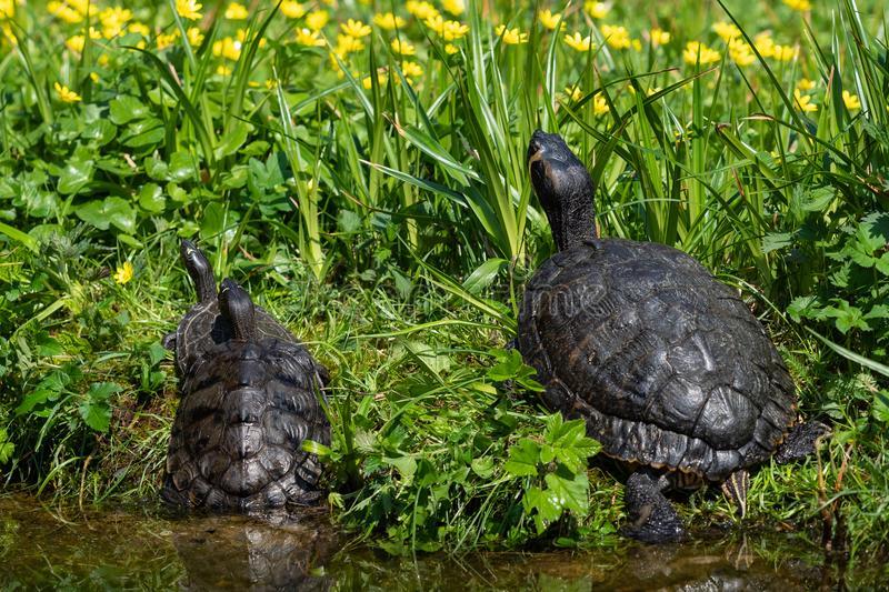 Turtles lying on the grass. Group of red-eared slider royalty free stock photos