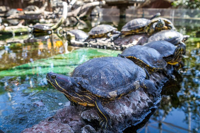 Turtles in the oceanic park of valencia stock images