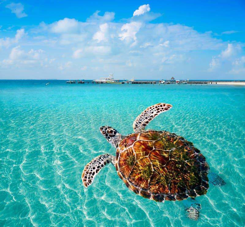 Turtles photomount in Caribbean Isla Mujeres royalty free stock photo