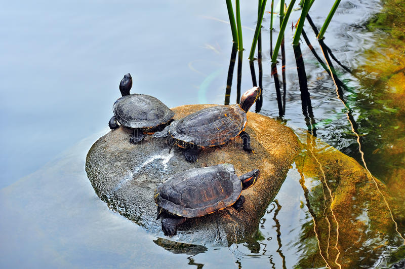 Download Turtles in the pond stock photo. Image of nature, plant - 27485198