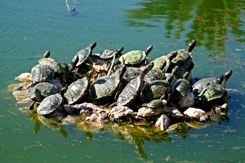 Download Turtles In A Pond Royalty Free Stock Photos - Image: 582208