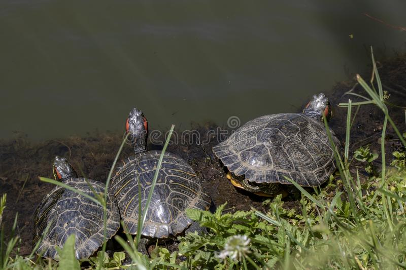 Turtles resting by the lake. Three. Close-up royalty free stock photo
