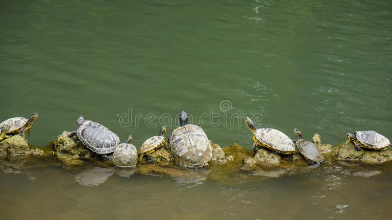 Turtles sitting on log in line stock photos