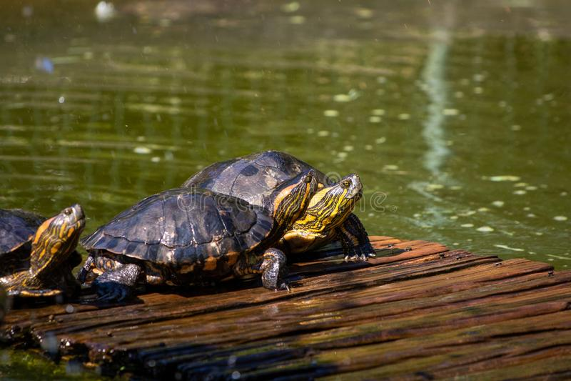 Turtles in the sun on the lake of the Botanical Garden in Rio de Janeiro Brazil stock photo