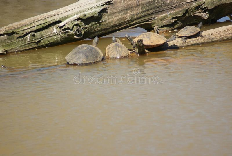 Turtles Sunning on A Log in the Water stock images